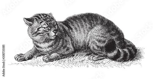 Photo  domestic cat (Felis catus) / vintage illustration from Meyers Konversations-Lexi
