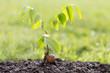 canvas print picture - junger Walnussbaum mit Schale