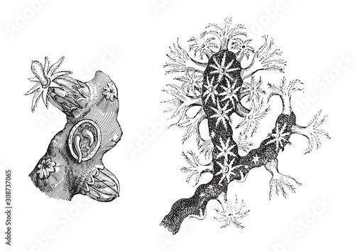Fotografie, Obraz Precious coral (Corallium rubrum) / vintage illustration from Meyers Konversatio