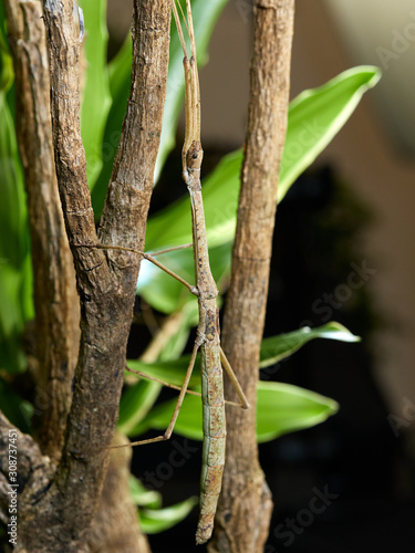 A macro shot of a stick insect (Carausius morosus) photographed against a green background in a studio set Tablou Canvas