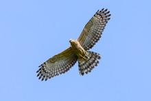 Jerdon's Baza (Aviceda Jerdoni) Hawk Migratory Bird Flying On The Blue Sky