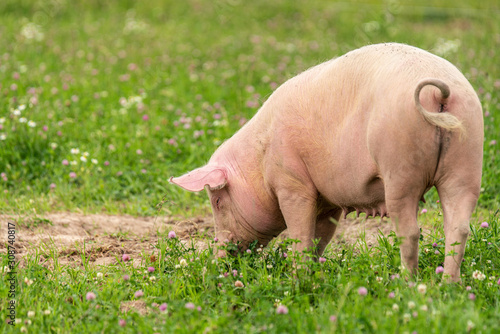 Fotografia Close up of a large female pig grazing in a green summer field