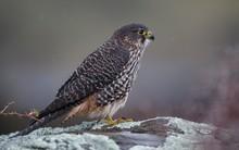 Wild Native Falcon Karearea On...