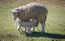 Merino Sheep Feeding Lambs In ...