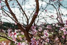 Flowers From An Almond Tree Du...