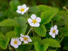 White Strawberry Flowers Among...