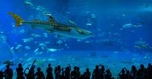 Giant Whale Shark In Aquarium.