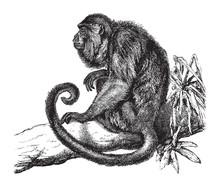 Ursine Howler Monkey (Mycetes Ursinus) / Vintage Illustration From Brockhaus Konversations-Lexikon 1908
