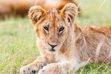 African Lion Cub In Africa