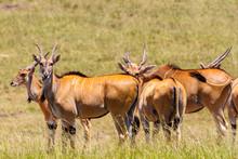 Eland Antelopes On The Savanna...