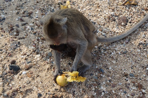 Photo High angle shot of a cute monkey eating a mango while sitting on the soil