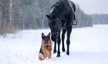 Dog Breed German Shepherd In W...