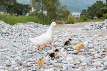 Goose Mom Walks A Brood Of Gos...