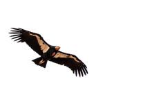 California Condor Soaring Over Zion National Park