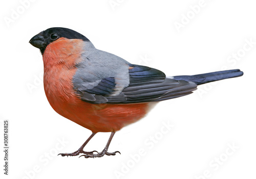 Fotografiet Male of Eurasian bullfinch (Pyrrhula pyrrhula), isolated on white background