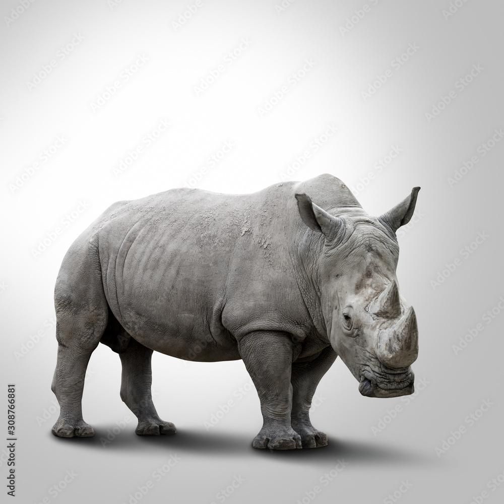 A white rhino on grey background