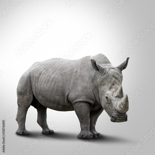 obraz dibond A white rhino on grey background
