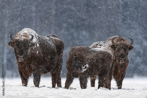 Winter Christmas Image With Brown Bison Family ( Aurochs Or Bison Bonasus ) Canvas Print