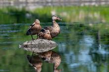 Female Mallard Ducks Resting O...