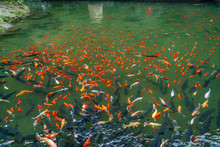 Crowded Group Of Mirror Carp Fish Swimming In The Pond