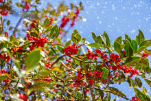 Green Leaves And Red Berry Christmas Holly On Blue Sky And Snow Fall Background. Christmas Holly Red Berries, Ilex Aquifolium Plant.  Merry Christmas Or Ney Year Xmas Card, Copy Space, Text Place