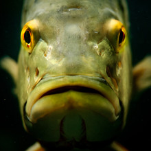 Portrait Of The Peacock Bass.