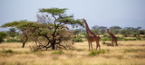 Fototapeta Sawanna - Somalia giraffes eat the leaves of acacia trees