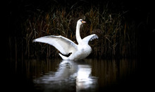 Swan Standing With Spread Wings On A Rock In Blue-green Water, White Swan On Water, Dark Background.