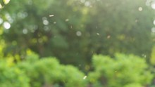 Beautiful Nature Bokeh Background Of Blurry Sunset Landscape And Defocused Round Particles Of Poplar Pollen And Insects Flying All Around Air In Evening. Real Time Full Hd Video Footage.