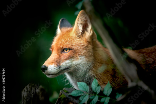 Close up of a Red and White Fox, side view, detail of the head of a fox on the hunt Canvas Print