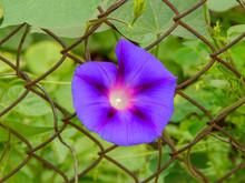 Ipomoea Violacea, Beach Moonflower Or Sea Moonflower, Beach Moonflower Isolated, Purple Morning Glory Blooming Beach Moonflower Ipomoea Violacea.