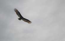 Turkey Vulture Flying In The S...