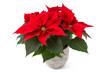 canvas print picture Weihnachtsstern (Euphorbia pulcherrima)