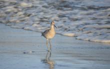 Shore Bird Walking Along A San...