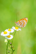 Melitaea Didyma, Red-band Fritillary Or Spotted Fritillary Butterfly