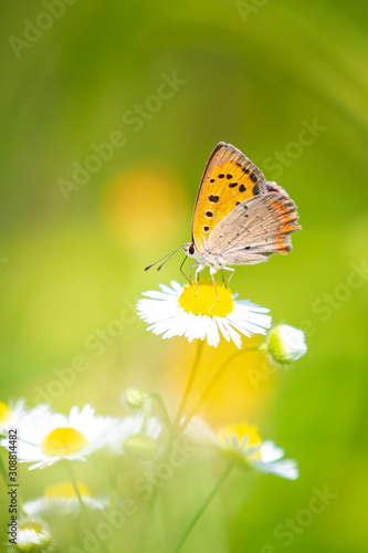 Fotografie, Obraz Small or common copper butterfly lycaena phlaeas closeup