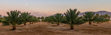 Panorama With Industrial Plantation Of Date Palms. Image Depicts Desert Agriculture Industry In The Middle East