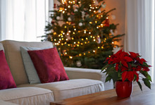 Christmas Interior With Traditional Red Poinsettia Flower On Table And Fir Christmas Tree With Lights At Background. Living Room Winter Lifestyle.