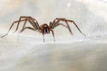 The Giant House Spider (Tegena...