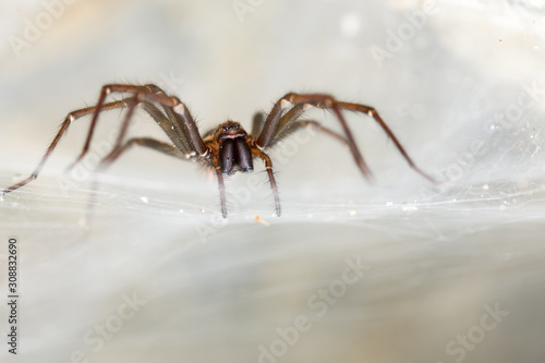 The giant house spider (Tegenaria sp) in a cave Canvas Print