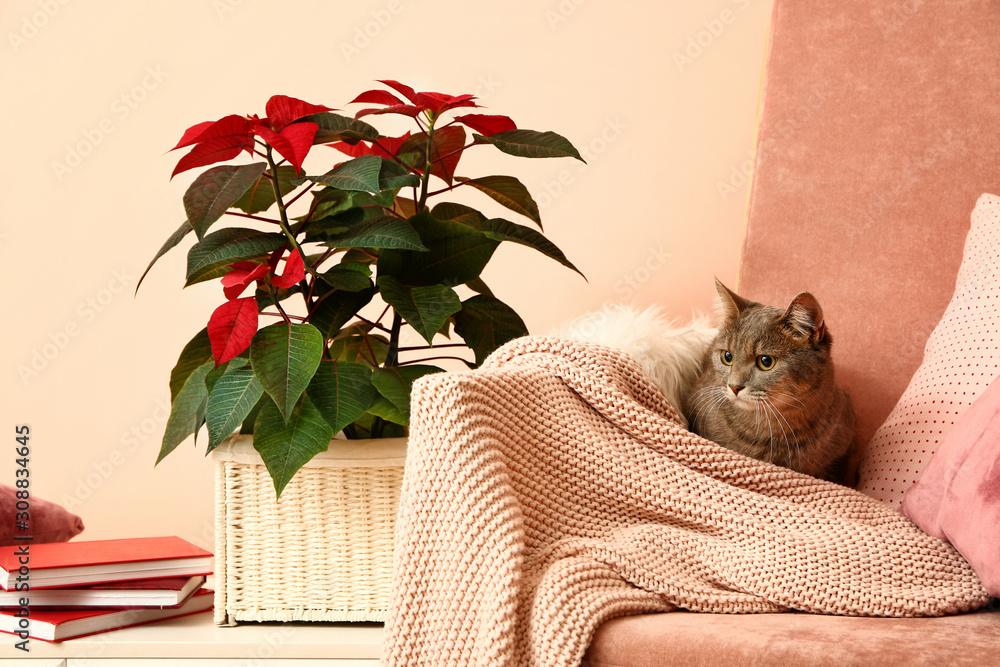Cute cat on armchair near beautiful Christmas flower poinsettia in room
