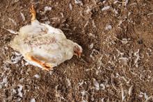 Chicken That Died On A Chicken Farm