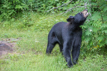 Black Bear Looking Up