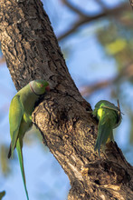 Wild Ringed Neck Parrots On A Tree Trunk In The Forest