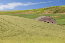 An Old Abandoned Shack Besides A Wheat Field In Palouse, Washington State, Usa