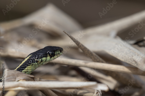 snake crawls in grass with head up Wallpaper Mural