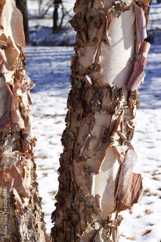 Close up abstract view of attractive peeling papery bark on a river birch tree t Canvas Print