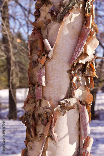 Photo Close up abstract view of attractive peeling papery bark on a river birch tree t