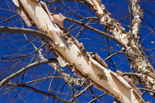 Close Up Abstract View Of Attractive Peeling Papery Bark On A River Birch Tree Trunk In Winter With Blue Sky Background