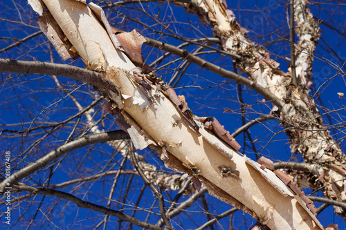 Close up abstract view of attractive peeling papery bark on a river birch tree t Wallpaper Mural
